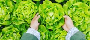 Des mains prenant des salades