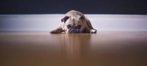 Un chien Bower français allongé sur du parquet