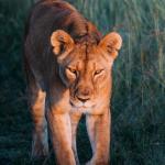 Une lionne face au soleil