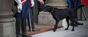 Labrador Retriever-Griffon, de robe noire