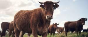 Troupeau de vaches marrons dans un champ.