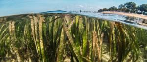 Pousses d'algues en bordure de plages.